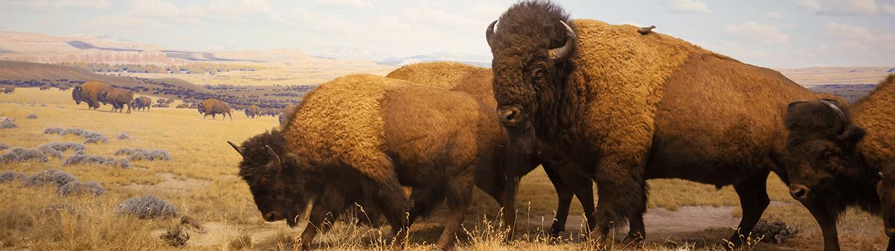 $50 American Buffalos